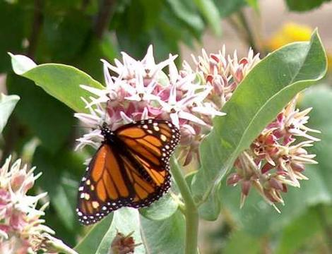 Monarch butterfly on a showy milkweed - grid24_12