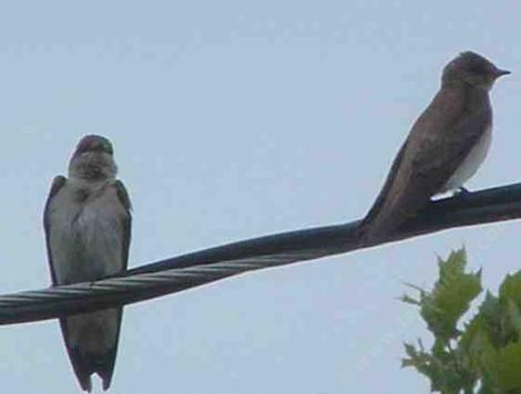 Northern rough-winged swallows, Stelgidopteryx serripennis - grid24_12