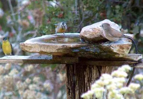 Acorn titmouse and goldfinchs at the birdbath. Sometimes the Titmouse can look like a small dog investigating an unknown. - grid24_12