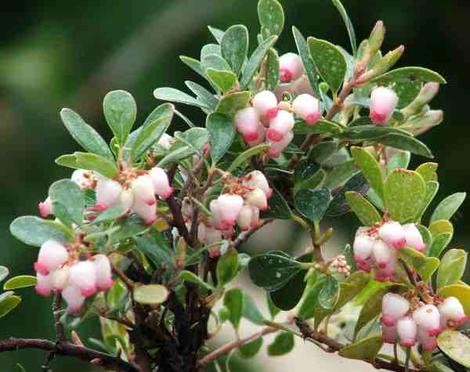 San Bruno manzanita grows as a nearly flat ground cover with green foliage and pink flowers. - grid24_12