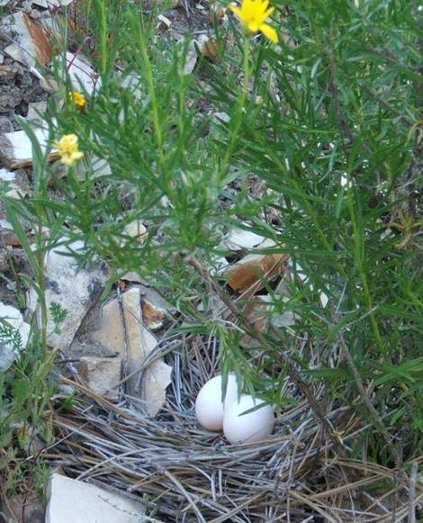 A Mourning Dove, Zenaida macroura nest with eggs. - grid24_12