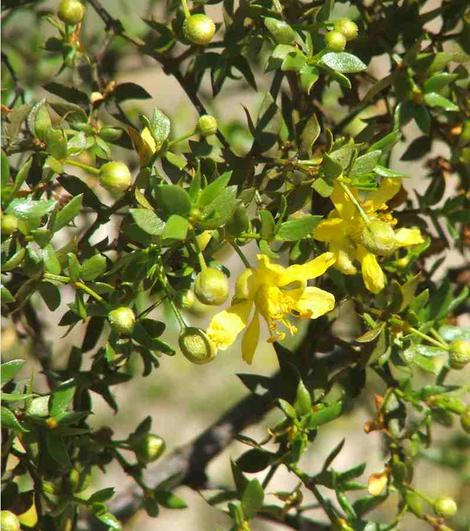 Creosote flowers are a nice yellow. - grid24_12