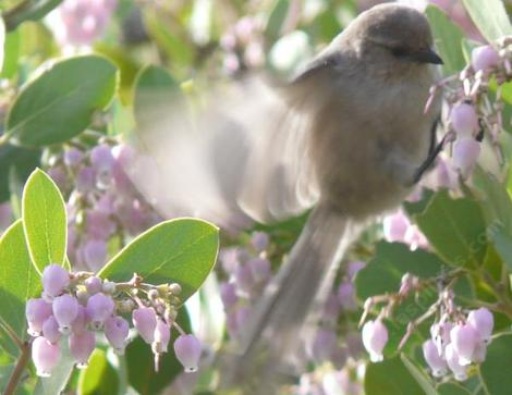 Bushtits are really cute eating the flowers of Arctostaphylos manzanita x densiflora, Austin Griffiths Manzanita - grid24_12