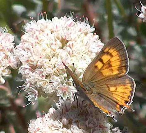 Tailed Copper Butterfly, Lycaena (Tharsalea) arota on a California Buckwheat - grid24_12