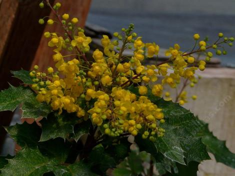 Mahonia piperiana x M.aquifolium x M. amplectans, Golden Abundance flowers. We sometimes grow this because some cutomers like the big flower show.