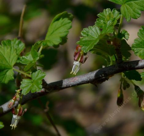 Ribes divaricatum, Coast Black Gooseberry - grid24_12