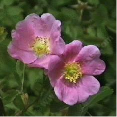 Rosa woodsii ultramontana Mountain Rose has lightly fragrant flowers. - grid24_12