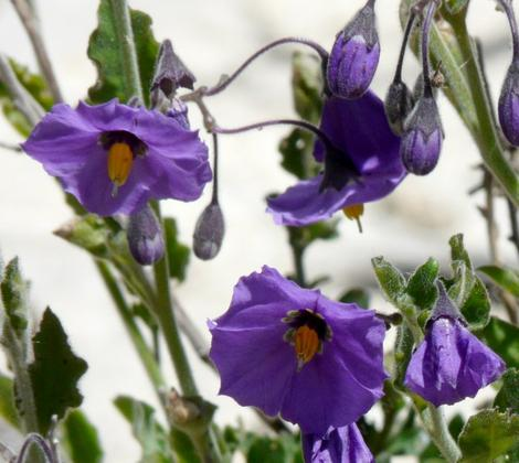 Solanum xanti, Purple Nightshade with it's hanging flowers - grid24_12