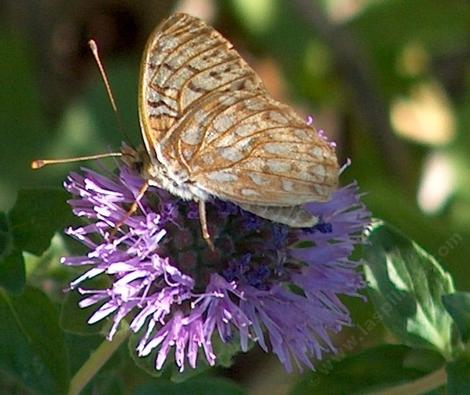Comstock fritillary on Monardella - grid24_12
