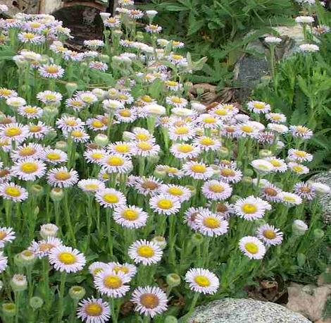 Erigeron glaucus, Cape Sebastian works well as a small ground cover or in a pot or container.