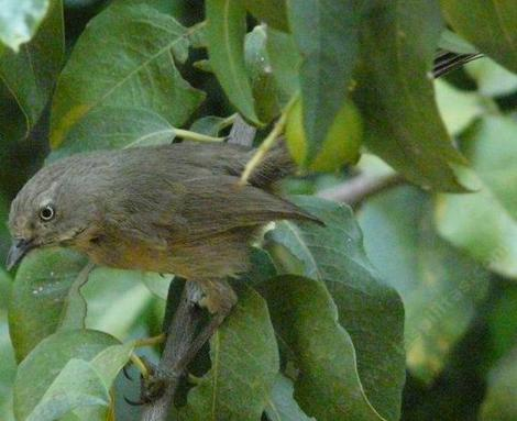 Wrentit in Catalina Cherry. - grid24_12