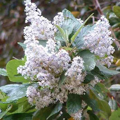 Ceanothus  arboreus,  Owlwood's Blue Mountain Lilac can have large flower clusters.