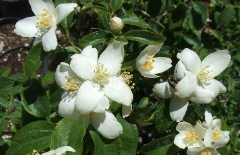 Philadelphus lewisii, Wild Mock Orange flowers are fragrant - grid24_12