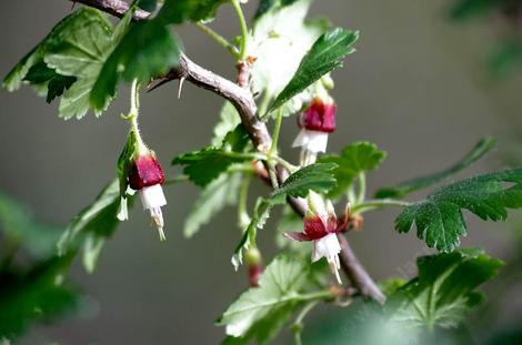 Ribes menziesii, Canyon Gooseberry, with its distinctive purple-red-white flowers and lobed leaves.  - grid24_12