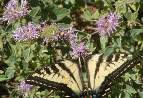 The Pale Swallowtail butterfly loves Monardella villosa, Coyote Mint.  - grid24_12