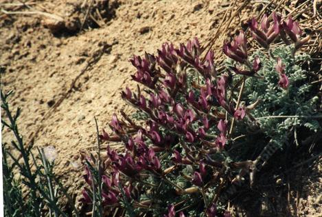 Oxytropis oreophila, Oxytrope, is a larval food plant for Blue butterflies, but deadly poisonous to livestock.