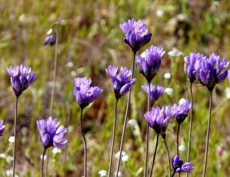 Brodiaea pulchella, or Dichelostemma capitatum,  Wild Hyacinth, flowers in very early spring, and so provides nectar for pollinators, when not much else is flowering.  - grid24_12