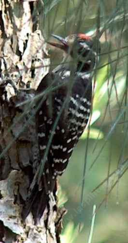 Nuttall's Woodpecker is almost always on the side of a treee. - grid24_12