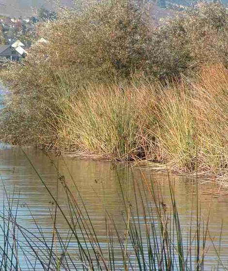 Rushes, Willows and Scripus next to lake. Again if you can't dig down to shallow water, riparian species can't either. - grid24_12