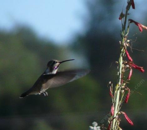 "Penstemon centranthifolius, Scarlet Bugler,  was ""born to be wild"" with hummingbirds ( here with Costa's Hummingbird).  - grid24_12"