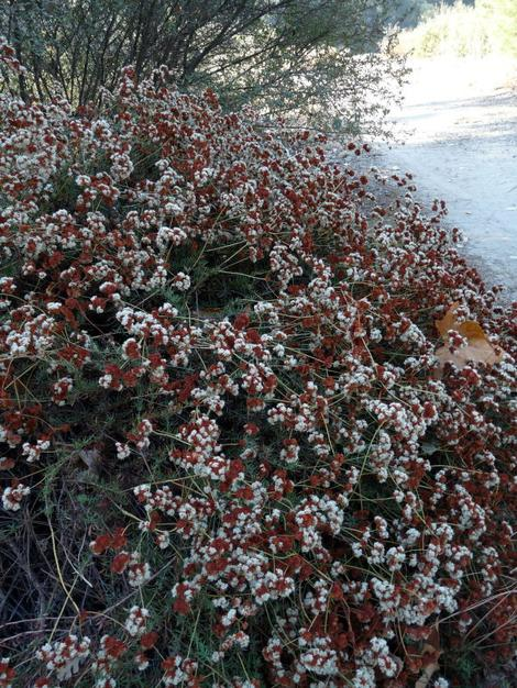 California Buckwheat, Eriogonum fasciculatum foliolosum, showing fall color.  - grid24_12