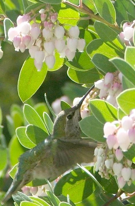 Anna Hummingbird working the flowers of mama bear manzanita - grid24_12