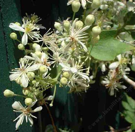 Western White Clematis, Clematis ligusticifolia looks like a vine with white fireworks.
