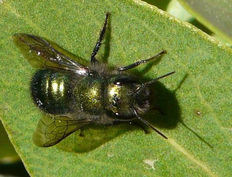 mason blue orchard or metalic leaf cutter bees osmia