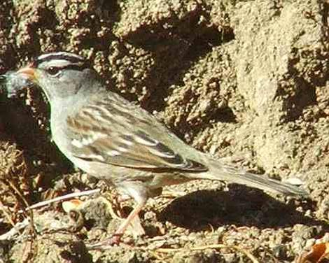 White crowned Sparrow - grid24_12