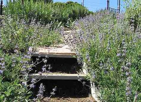 Salvia Bee's Bliss covering the ground  with wild  flowers in San Luis Obispo. You can be pretty rustic in a native garden and still impress folks. Bee's Bliss will do this in Los Angeles and San Diego. - grid24_12