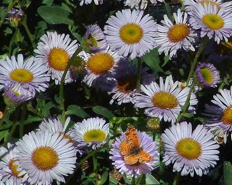 Erigeron glaucus Cape Sebastian Seaside Daisy  with a butterfly - grid24_12