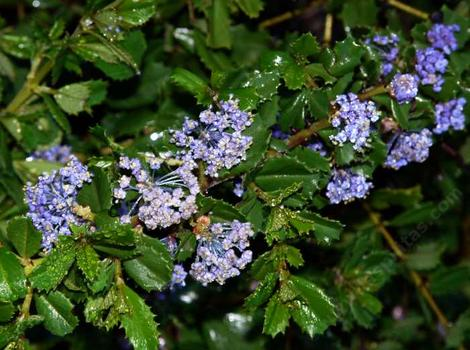 Heart's Desire is not as showy as some of the other Ceanothus, but the deer usually leave it along, it is hardy to maybe 10F, ok with some summer water, ok in 100 degree weather, but needs a little break from the sun. It is a moundy  ground cover. - grid24_12