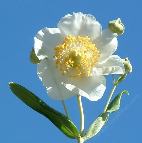 Carpenteria californica, Bush anemone flowers - grid24_12