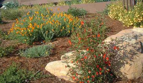 In this native garden in coastal sand, the Diplacus (Mimulus) puniceus,  Red Monkey Flower. - grid24_12