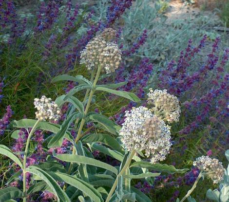 Asclepias eriocarpa Monarch Milkweed, woollypod milkweed, Indian milkweed, and kotolo, next to Woolly blue curls