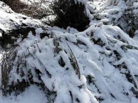 Big Basin Sage, Artemesia tridentata lays flat in the snow. - grid24_12