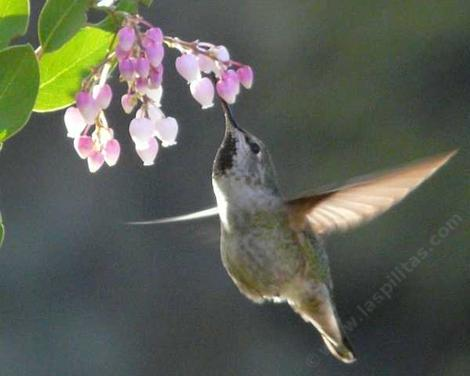 An Anna's Hummingbird working the flowers of Mama Bear Manzanita - grid24_12