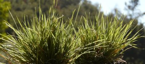 Deschampsia caespitosa,  Tufted Hairgrass is a  tufted grass that grows in seasonally wet spots in central and northern California. - grid24_12