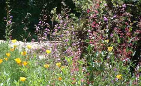 Penstemon spectablis, pseudospectablis, and centranthifolius with a few poppies and you have color. - grid24_12