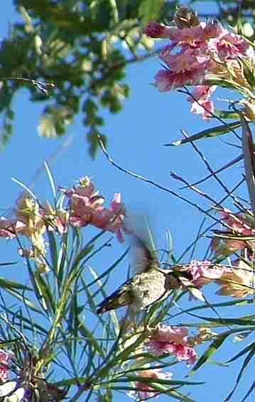 Anna's Hummingbirds commonly fight all day long over the Desert Willso, Chilopsis linearis - grid24_12