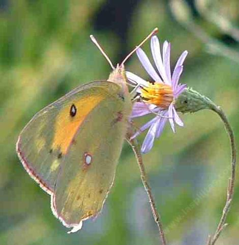 Alfalfa Butterfly on a Lessingia - grid24_12
