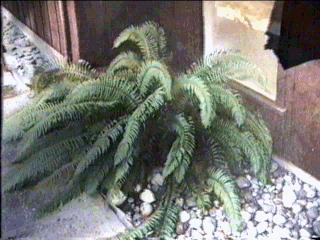 Woodwardia fimbriata Giant Chain Fern