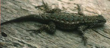 Western Fence Lizard flattened down as if hiding. - grid24_12
