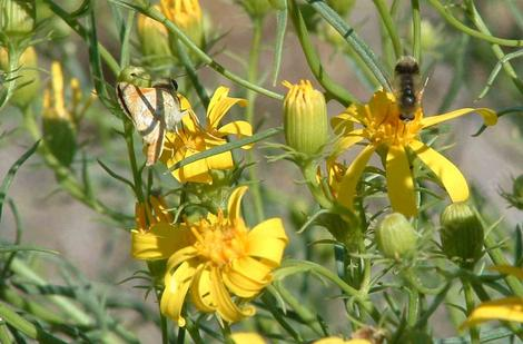 Bee Fly and Skipper on Senecio douglasii - grid24_12