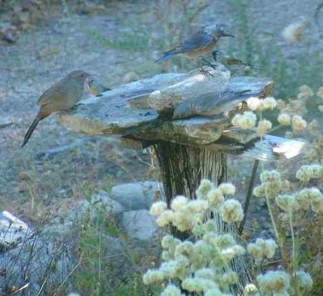 A Western bluebird, Lesser goldfinches and Towhee at the birdbath. You can tell a lot about a bird by watching their behavior at the bath. This bird bath is a rock on a post. - grid24_12