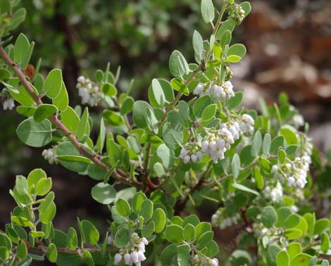 Margarita Joy is a very small little bush with flowers the native bees and hummingbirds like.