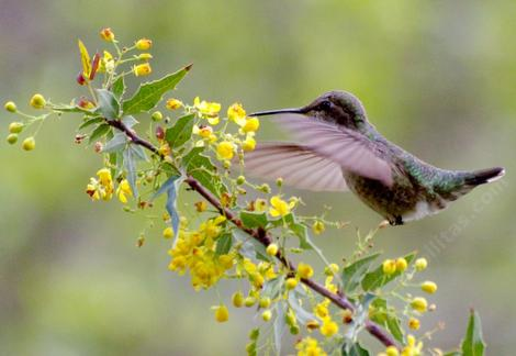 Anna Hummingbird on a Mahonia nevinii - grid24_12