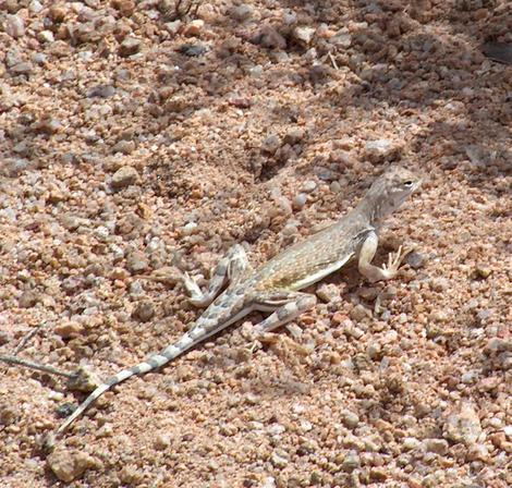 Zebra Tailed lizard out in Joshua Tree - grid24_12