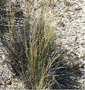 Stipa cernua, Nodding needlegrass is commonly brown