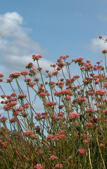 California buckwheat flowers turn russet  - grid24_12